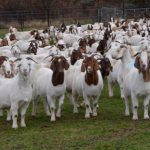 goat farming business plan in nigeria