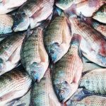 Tilapia Fish Farming Business Plan